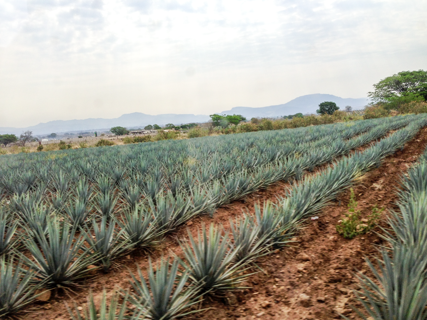 Land of Tequila | Guadalajara, Mexico part 2 via www.surelysimple #surelysimple #surelysimpletravel #travel #mexico #guadalajara #tequila